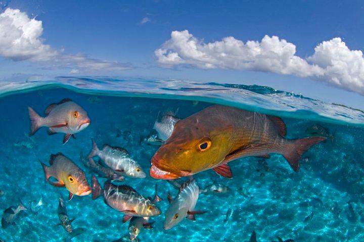 Bohar Snapper, Aldabra Atoll, Seychelles,
