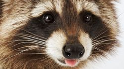 These Pictures Of A Racoon Doing People Things Will Make Your
