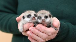 Taronga Zoo Is Having A Meerkat Baby
