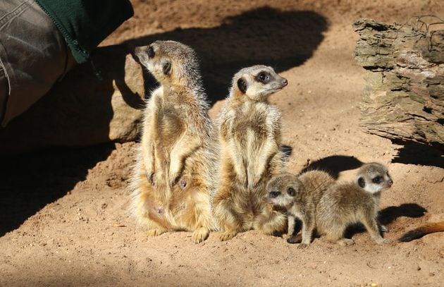 Taronga Zoo Is Having A Meerkat Baby