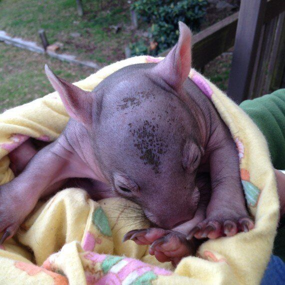 Joey Survives Callous Car Attack Killing 10 Wombats Near