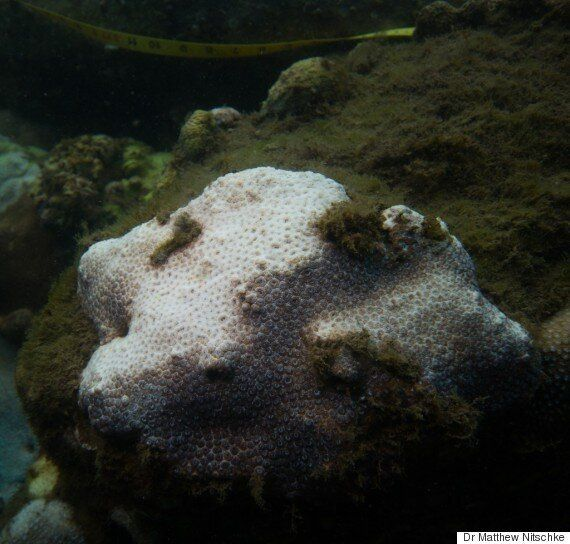 Coral Bleaching Event Travels So Far South It Hits Sydney