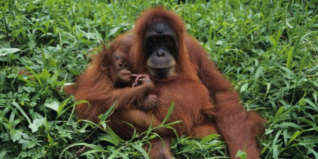 Orang-utan (Pongo pygmaeus) with young, sitting, Gunung Leuser National Park,