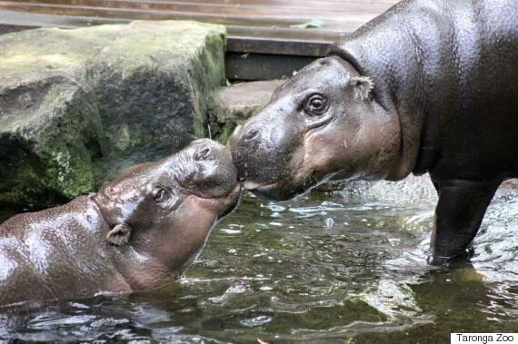Two Pygmy Hippos Met Face-To-Face For The First Time On