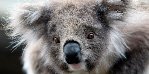 The drone project will be a world-first in developing a robust methodology to use drones to estimate koala numbers.