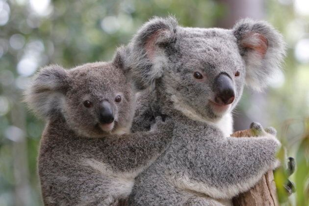 Drones will be able to make an accurate assessment of how many koalas are in south-east Queensland.