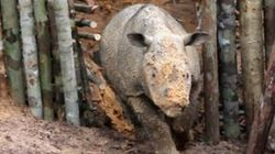 Near-Extinct Rhino Spotted In Indonesian Borneo For First Time In 40