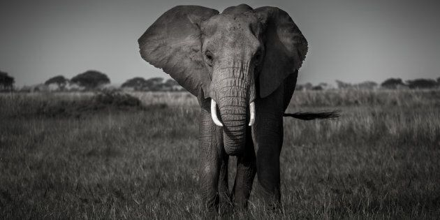 There are no easy answers and no clear paths ahead to ensure the African elephant survives, but the tides...