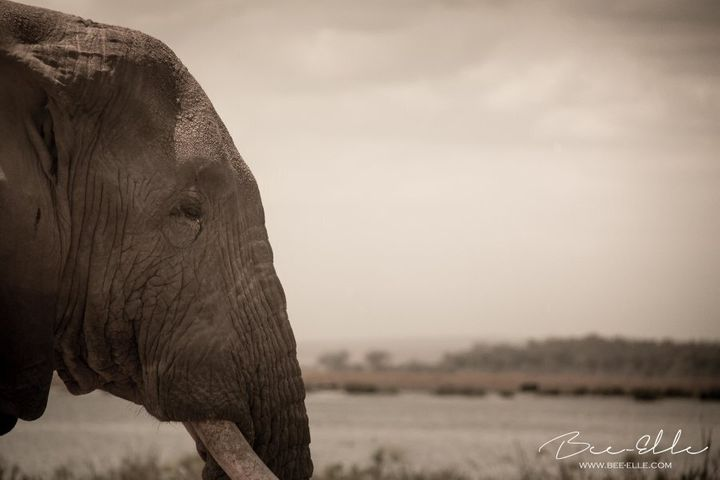 Poaching for ivory is the single largest threat to the African elephant.