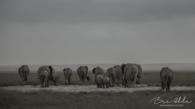 A third of the total population of African elephants plummeted over a 7 year period, primarly due to