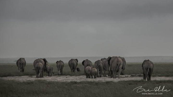 A third of the total population of African elephants plummeted over a 7 year period, primarly due to poaching.