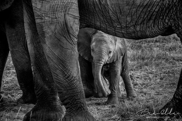 Tanzania's elephants are some of the worst affected by poaching, where populations have sustained a loss...