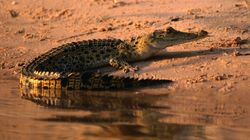 Crocodiles Outlived The Dinosaurs But Climate Change May See Their