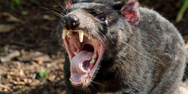Australia, South Australia, Adelaide. Cleland Wildlife Park. Tasmanian devil (Sarcophilus harrisii) the largest carnivorous marsupial in the world.