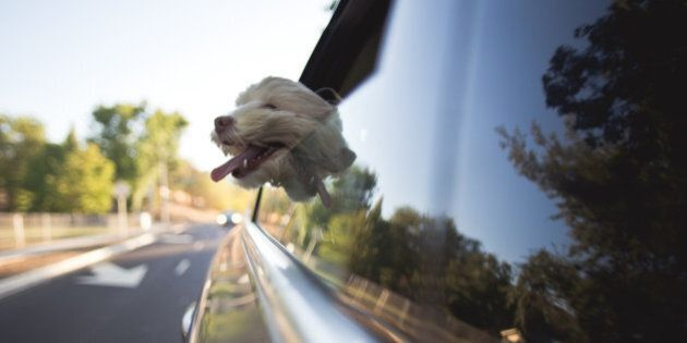 A cockapoo dog is riding in a car with it's head out the window. It's mouth is open and tongue is hanging...