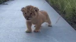 Cuteness Alert, People: I Am Lion Cub, Hear Me
