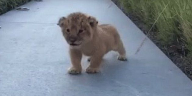 Tiny Lion Cub Tries To Roar... But Squeaks