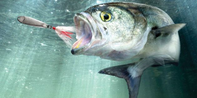 Bluefish (Pomatomus saltatrix) depicted in a natural environment following a fishing