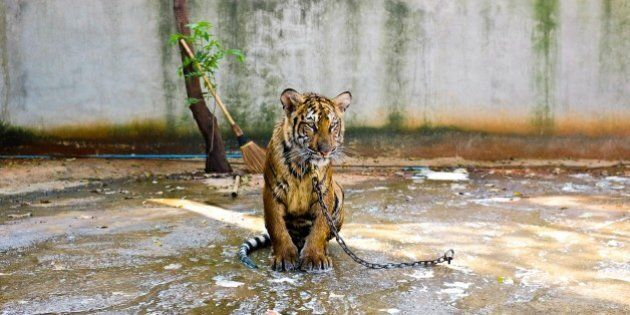 Animal Cruelty: Think Twice Before Visiting A Wildlife Attraction On Your Next