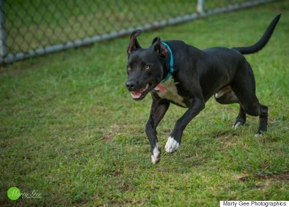 People Don't Adopt Black Dogs, Which is Bad News For Bobby Here. Can You