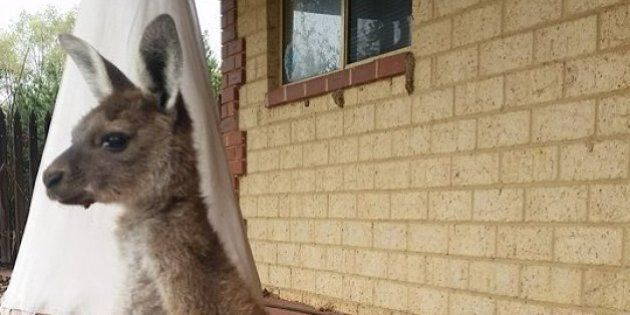 This Orphan Joey With Bandaged Paws Will Melt Your