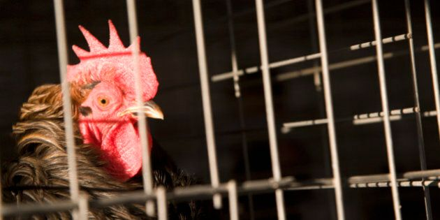 Rooster in cage,