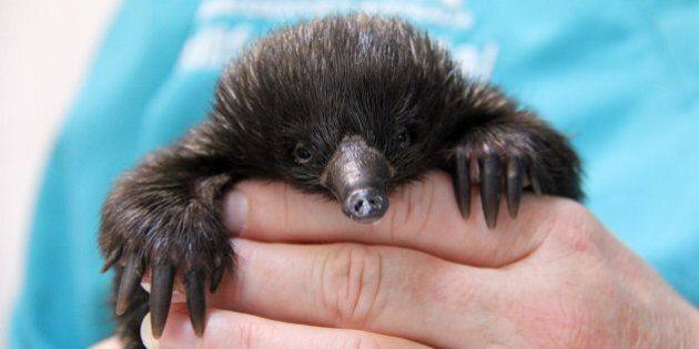 A Baby Echidna Is Making Remarkable Recovery After Being Attacked By