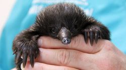 Chickens Attacked An Echidna. No, We're Not Kiddin'