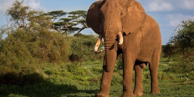 Elephants Are Smart, But Are Humans Smart Enough To Save