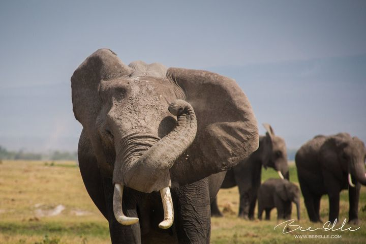 Studies have revealed that the elephant is more intelligent than thought.