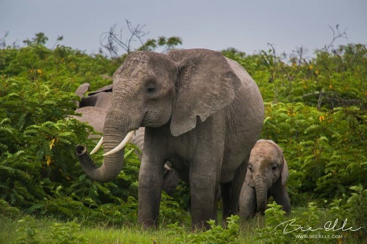 Elephants have an elaborate communication system with which they use to live within their complex social and family structures.