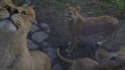 Watch These Ferocious Lions Turn Into Playful