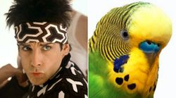 The 'Zoolander Effect' Stops Birds From Colliding In