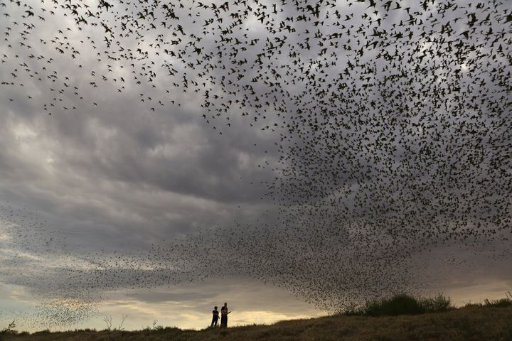 Tens of thousands of budgerigars gather around this isolated waterhole in Central Australia and not one hits another.