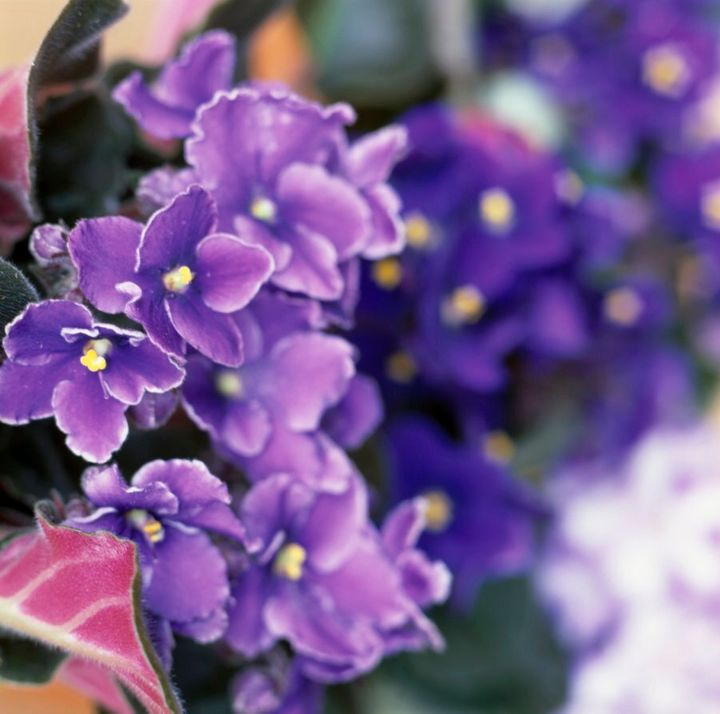 African violets are a great option for indoors if you've got a bright, sunny room.