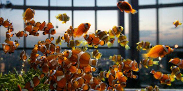 Clown fish swim in a Japanese aquarium.