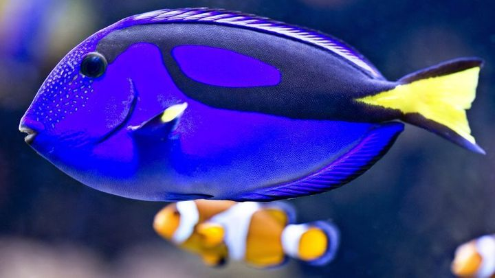 Dory the blue tang with Nemo the clown fish.