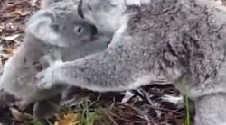 WATCH: The Adorable Moment Koala Joey Is Rescued From Barbed Wire By Its