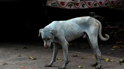 Dogs Turn Blue In India After Swimming In Contaminated