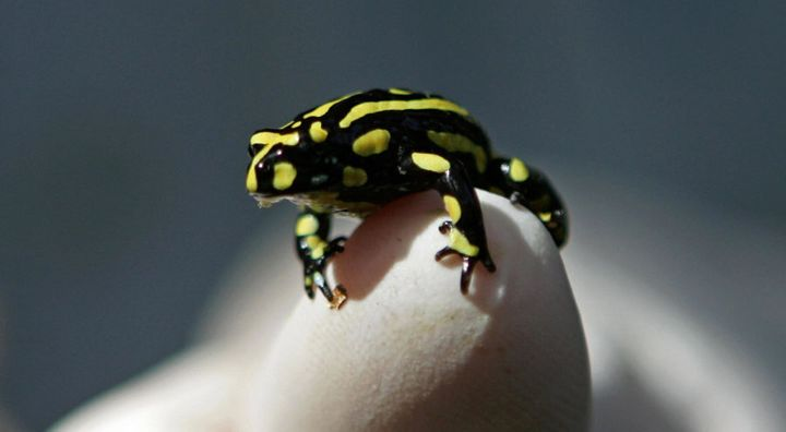 Corroboree Frogs are threatened by brumbies.
