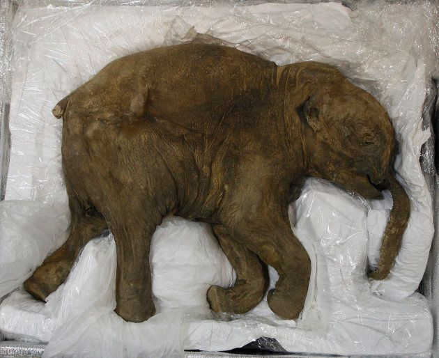 Lyuba was so well preserved in the Siberian permafrost that she still had her baby
