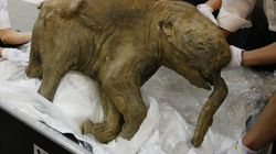This Might Be Your Only Chance To See A Woolly Mammoth In The (Mostly Intact)