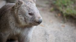 Authorities Probe Claims 40 Wombats Have Been Buried