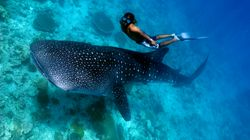 No One Has Ever Seen Whale Sharks Doin'