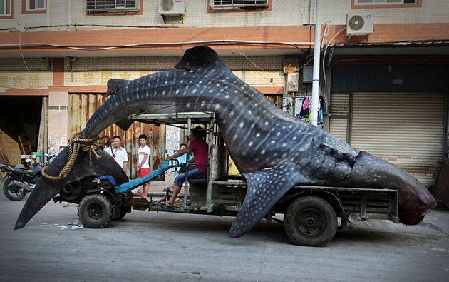 Whale sharks are caught by fisheries and their fins are sadly prized for shark fin