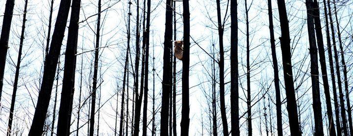 A koala sits in a burned pine tree in Adelaide Hills.