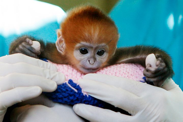 Elke, a five-day-old Francois Langur, makes her media debut at Taronga Zoo's Wildlife Hospital in Sydney, 2009.