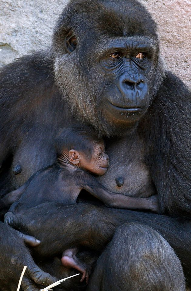 A Western Lowland Gorilla named Mbeli holds her three-day-old baby in their enclosure at Sydney's Taronga...