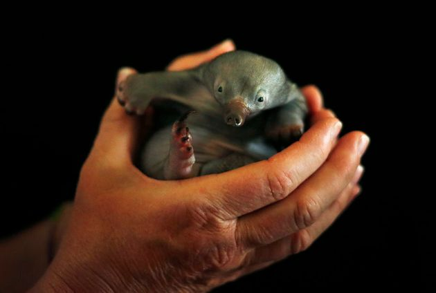 Bo, a 55-day-old baby Echidna known as a puggle, rests in the hands of vet nurse at Taronga Zoo in Sydney,