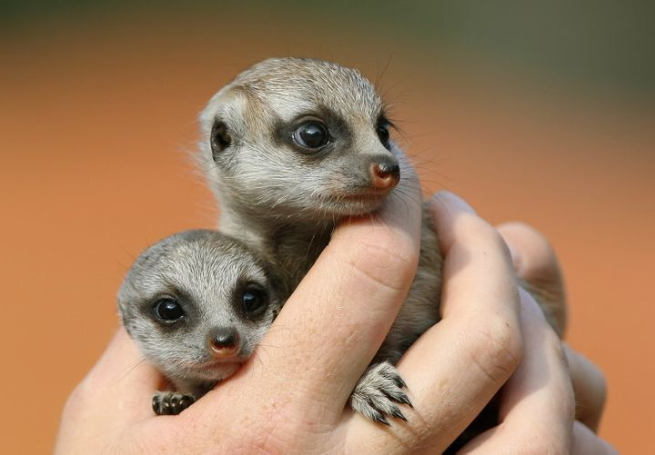 Meerkat pups 'Nairobi' and 'Zanzibar' four weeks old and the first to be born at Sydney's Taronga Zoo in nine years, are shown for the first time in 2009.